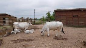 Vaches blanches dans le zoo clips vidéos