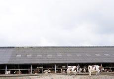 Vaches blanches rouges en dehors de ferme en Hollandes près d'Amersfoort Image libre de droits