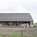 Vaches blanches rouges en dehors de ferme en Hollandes près d'Amersfoort Photographie stock
