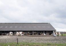 Vaches blanches rouges en dehors de ferme en Hollandes près d'Amersfoort Photo stock