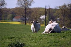 Vaches blanches sur l'herbe verte photos stock