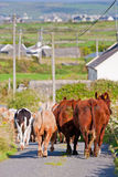 Vaches bloquant la route en Irlande Photos libres de droits