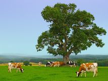 Vaches brumeuses Image stock