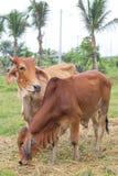 Vaches brunes à couples Photographie stock libre de droits