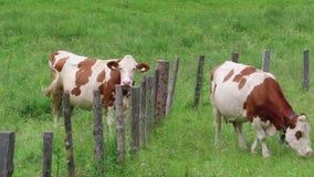 Vaches brunes blanches sur un pré en vallée autrichienne de Zillertal d'alpes p?turage clips vidéos
