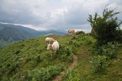 Vaches brunes mignonnes heureuses appréciant en montagnes d'irati Photo libre de droits
