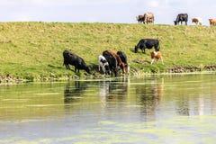 Vaches buvant à une rivière Photographie stock