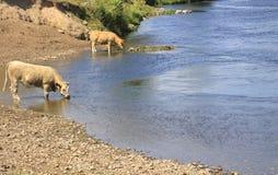 Vaches buvant en rivière Photographie stock