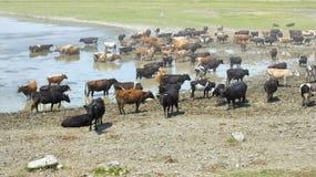 Vaches buvant l'eau d'un lac Photos libres de droits