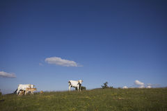 Vaches contre le ciel bleu Images stock