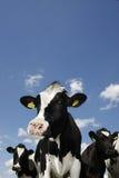 Vaches contre le ciel bleu avec quelques nuages. Image stock