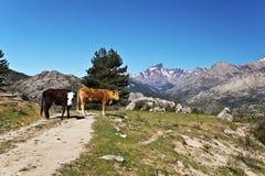 Vaches corses en Golo Valley photo libre de droits