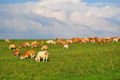 Vaches cultivant l'agriculture Images stock