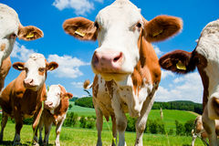 Vaches curieuses Photographie stock