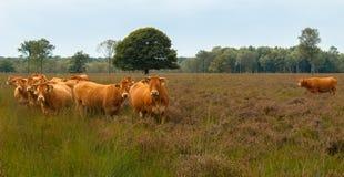 Vaches curieuses Photos libres de droits