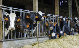 Vaches curieuses mangeant le foin Images stock