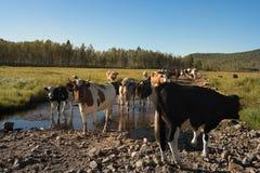 Vaches curieuses regardant dans la forêt Image libre de droits