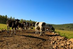 Vaches curieuses regardant l'appareil-photo Image libre de droits
