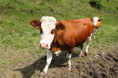 Vache italienne dans une ferme Photo stock