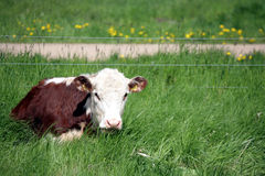 Vaches danoises Photographie stock libre de droits