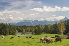 Vaches dans Allgaeu Images stock