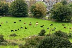 Vaches dans Cornouailles Photo libre de droits