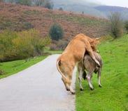 Vaches dans l'amour feignant des rapports dans la route de Pyrénées Photographie stock libre de droits