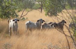 Vaches dans l'Australie occidentale. Image stock