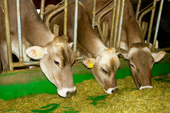 Vaches dans l'écurie Image stock