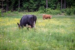 Vaches dans l'horizontal rural photos libres de droits