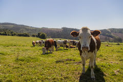 Vaches dans l'openfield Images stock