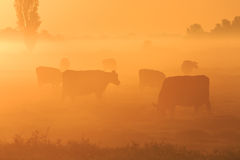 Vaches dans la brume Photos stock