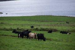 Vaches dans la colline Images stock