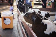 vaches dans la ferme Vaches laitières Photos stock