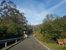 Vaches dans la route Photo stock