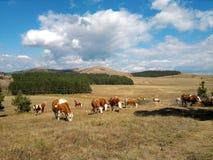 Vaches dans le domaine Photos stock