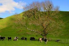 Vaches dans le domaine Photographie stock