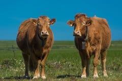 Vaches dans le domaine Photo libre de droits
