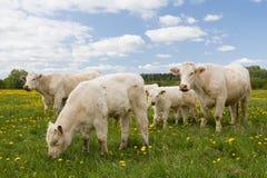 Vaches dans le domaine de pissenlit Image stock