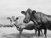 Vaches dans le domaine, près de la visionneuse photos stock