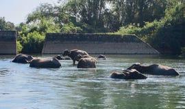 Vaches dans le fleuve Photographie stock
