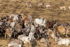 Vaches dans le groupe dans le c?t? de pays image libre de droits