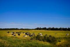 Vaches dans le marais Photo stock