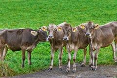 Vaches dans le pâturage Photographie stock