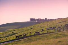 Vaches dans le pâturage, Australie Photos libres de droits