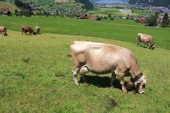 Vaches dans le pâturage d'Alpes Image libre de droits