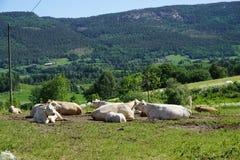 Vaches dans le pâturage vert Photographie stock libre de droits