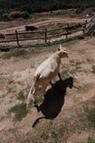 Vaches dans le patio Photographie stock libre de droits