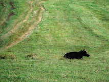 Vaches dans le pré Photos libres de droits