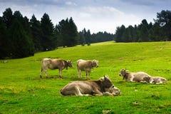Vaches dans le pré de forêt en été Photographie stock